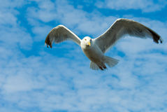 Free Seagull In Flight Stock Image - 3304051
