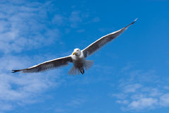 Free Seagull In Flight Royalty Free Stock Photos - 3304058
