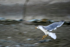 Seagull In Flying Royalty Free Stock Photo