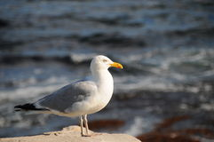 Free Seagull In Sunset Stock Photos - 17113553