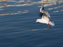 Seagull inflight Stock Photography