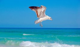 Seagull inflight Stock Photos