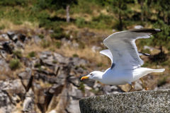 Seagull initiating the flight Royalty Free Stock Image
