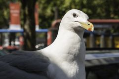 Are you looking at me?. Seagull with an inquisitive look at the camera Royalty Free Stock Photo