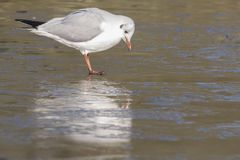 A gull inspecting the  ice Royalty Free Stock Photo