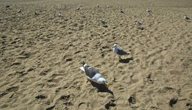 Seagull invasion. Feed one seagull attract many onlookers waiting for food at the Stock Image