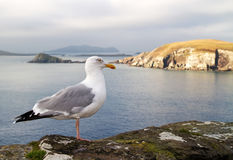 Seagull on the irish coast Stock Image