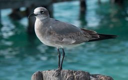 Seagull on Isla Mujeres boat dock post across from Cancun Mexico Stock Photo