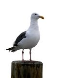 Seagull (isolated) Royalty Free Stock Photography