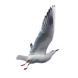 Seagull isolated Stock Photos