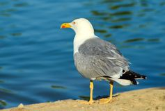 Seagull isolated Royalty Free Stock Photos