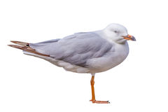 Seagull isolated Royalty Free Stock Images