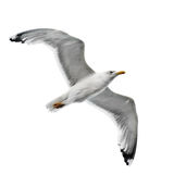 Seagull. Isolated on white background Stock Photography