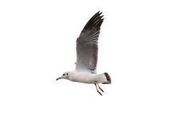 Seagull isolated on white background Stock Photos