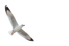 Seagull isolated on white Royalty Free Stock Photos