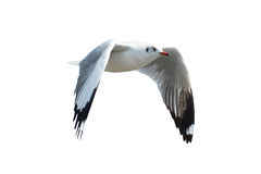 Seagull isolated on white Royalty Free Stock Images