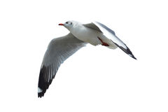 Seagull isolated on white Royalty Free Stock Photography