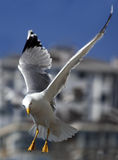Seagull in Istanbul Royalty Free Stock Photography