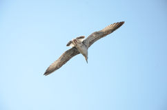 Seagull. From istanbul sariyer seaside Royalty Free Stock Photos