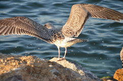 Seagull. From istanbul sariyer seaside Stock Photos