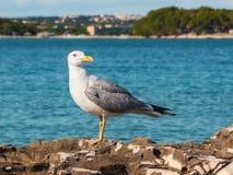 Seagull, Istria, Croatia. Seagull Sitting on the Rock, Istria, Croatia stock images
