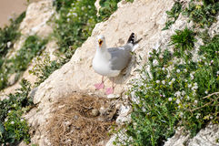 Seagull and its nest Stock Photography