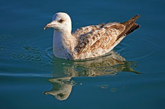 A Seagull And Its Reflection - Water Bird Stock Photos