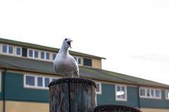 Seagull Jest G?o?ny zdjęcia stock