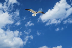 Seagull Jonathan Livenstone. A curious seagull watching from up above the photographer on the land , free in the skies Stock Images