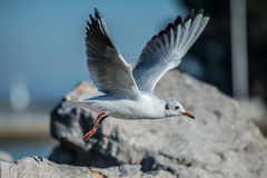 Seagull jumping from the rock. By the sea Royalty Free Stock Photos
