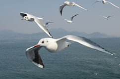 Seagull (Kamome) flock Royalty Free Stock Photography