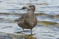 Seagull, Kangaroo Island, Australia Stock Image
