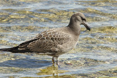 Seagull, Kangaroo Island, Australia Stock Photos