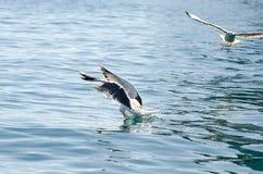 Seagull karmienie Obrazy Royalty Free