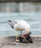 Seagull killing a pigeon Stock Photo