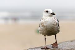 Seagull. In Kolobrzeg, Poland, at the Baltic Sea stock photo