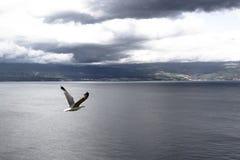 Seagull komarnica Zdjęcie Royalty Free