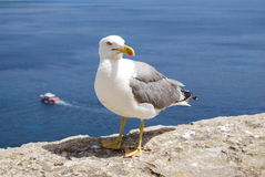 Seagull Korsika ö Arkivfoto