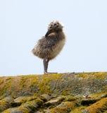 Seagull kurczątko Obrazy Royalty Free