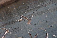 Seagull ląduje obrazy royalty free