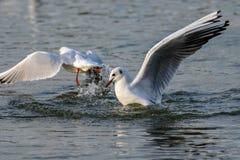 Seagull lądowanie na wodzie z pluśnięciem zdjęcia stock
