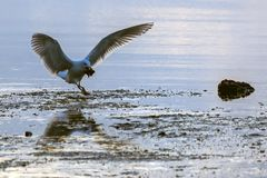 Seagull lądowanie zdjęcie stock