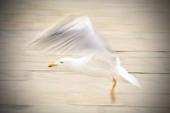 Seagull lądowanie Fotografia Royalty Free