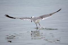 Seagull lądowanie w wodzie Obraz Royalty Free