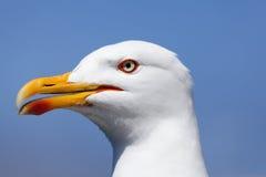 Seagull in La Coruña Stock Photos