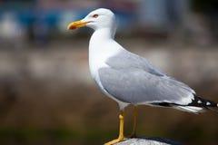 Seagull in La Coruña Stock Image