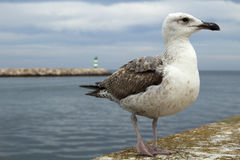 Seagull at Lagos Harbour, Algarve, Portugal Royalty Free Stock Image