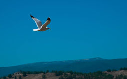 The seagull Royalty Free Stock Photos