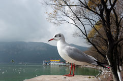 Seagull in lake dianchi Royalty Free Stock Photos