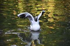 Seagull on Lake. A seagull preparing to take off from a small lake Royalty Free Stock Photography
